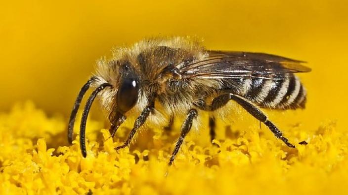 Naturschutz in Königswinter: Bienen- und insektenfreundliche Blumenwiesen!